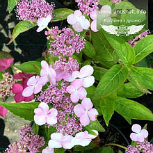 Hydrangea serrata 'Bluebird', Гортензія пильчата 'Блубьорд',C2 - горщик 2л