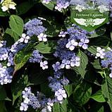 Hydrangea serrata 'Bluebird', Гортензія пильчата 'Блубьорд',C2 - горщик 2л, фото 3