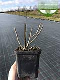 Hydrangea serrata 'Bluebird', Гортензія пильчата 'Блубьорд',C2 - горщик 2л, фото 4