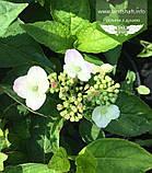Hydrangea serrata 'Bluebird', Гортензія пильчата 'Блубьорд',C2 - горщик 2л, фото 6