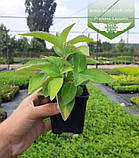 Hydrangea serrata 'Bluebird', Гортензія пильчата 'Блубьорд',C2 - горщик 2л, фото 8
