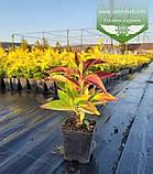 Hydrangea serrata 'Bluebird', Гортензія пильчата 'Блубьорд',C2 - горщик 2л, фото 9