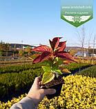 Hydrangea serrata 'Bluebird', Гортензія пильчата 'Блубьорд',C2 - горщик 2л, фото 10