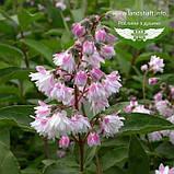 Deutzia scabra 'Codsall Pink', Дейція шорстка 'Кодсал Пінк',C2 - горщик 2л, фото 2