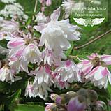 Deutzia scabra 'Codsall Pink', Дейція шорстка 'Кодсал Пінк',C2 - горщик 2л, фото 3