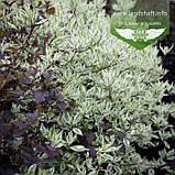 Cornus alba 'Elegantissima', Дерен білий 'Елегантіссіма',C5 - горщик 5л, фото 4