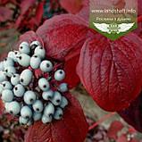 Cornus alba 'Siberian Pearls', Дерен білий 'Сайберіан Перлз',C2 - горщик 2л, фото 2