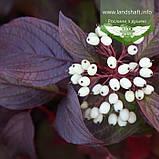 Cornus alba 'Siberian Pearls', Дерен білий 'Сайберіан Перлз',C2 - горщик 2л, фото 3