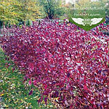Cornus alba 'Siberian Pearls', Дерен білий 'Сайберіан Перлз',C2 - горщик 2л, фото 4