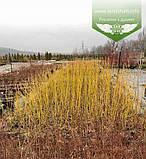 Cornus sericea 'Flaviramea', Дерен шовковистий 'Флавірамеа',C2 - горщик 2л, фото 3