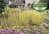 Cornus sericea 'Flaviramea', Дерен шовковистий 'Флавірамеа',C2 - горщик 2л, фото 6