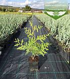 Thuja occidentalis 'Brabant', Туя західна 'Брабант',WRB - ком/сітка,60-80см, фото 5