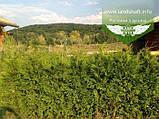 Thuja occidentalis 'Brabant', Туя західна 'Брабант',WRB - ком/сітка,60-80см, фото 10