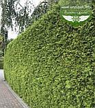 Thuja occidentalis 'Brabant', Туя західна 'Брабант',WRB - ком/сітка,140-160см, фото 4