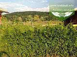 Thuja occidentalis 'Brabant', Туя західна 'Брабант',WRB - ком/сітка,140-160см, фото 10