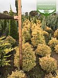 Thuja occidentalis 'Rheingold', Туя західна 'Рейнголд',Кореневий кому/сітка,60-80см, фото 2
