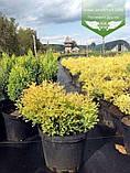 Thuja occidentalis 'Rheingold', Туя західна 'Рейнголд',Кореневий кому/сітка,60-80см, фото 3
