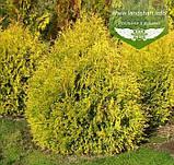 Thuja occidentalis 'Rheingold', Туя західна 'Рейнголд',Кореневий кому/сітка,60-80см, фото 5