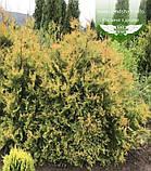 Thuja occidentalis 'Rheingold', Туя західна 'Рейнголд',Кореневий кому/сітка,60-80см, фото 7