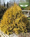 Thuja occidentalis 'Rheingold', Туя західна 'Рейнголд',Кореневий кому/сітка,60-80см, фото 10
