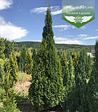 Thuja occidentalis 'Smaragd', Туя західна 'Смарагд',P7-Р9 - горщик 9х9х9,10-15см, фото 6