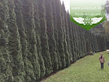 Thuja occidentalis 'Smaragd', Туя західна 'Смарагд',P7-Р9 - горщик 9х9х9,10-15см, фото 10