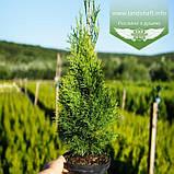 Thuja occidentalis 'Smaragd', Туя західна 'Смарагд',C2 - горщик 2л,30-35см, фото 2