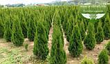 Thuja occidentalis 'Smaragd', Туя західна 'Смарагд',C2 - горщик 2л,30-35см, фото 4