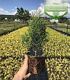 Thuja occidentalis 'Smaragd', Туя західна 'Смарагд',C2 - горщик 2л,30-35см, фото 5