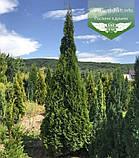 Thuja occidentalis 'Smaragd', Туя західна 'Смарагд',C2 - горщик 2л,30-35см, фото 6