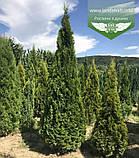 Thuja occidentalis 'Smaragd', Туя західна 'Смарагд',C2 - горщик 2л,30-35см, фото 7