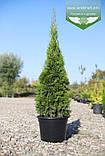 Thuja occidentalis 'Smaragd', Туя західна 'Смарагд',C2 - горщик 2л,30-35см, фото 8