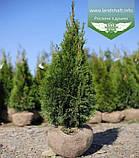 Thuja occidentalis 'Smaragd', Туя західна 'Смарагд',C2 - горщик 2л,30-35см, фото 9