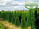 Thuja occidentalis 'Smaragd', Туя західна 'Смарагд',WRB - ком/сітка,100-120см, фото 3