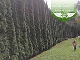 Thuja occidentalis 'Smaragd', Туя західна 'Смарагд',WRB - ком/сітка,100-120см, фото 10