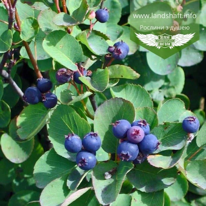 Amelanchier alnifolia, Ірга вільхолиста,C25 - горщик 20-25л
