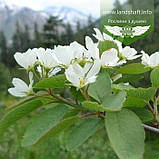 Amelanchier alnifolia, Ірга вільхолиста,C25 - горщик 20-25л, фото 2