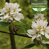 Amelanchier alnifolia, Ірга вільхолиста,C25 - горщик 20-25л, фото 3