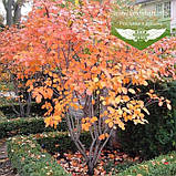 Amelanchier alnifolia, Ірга вільхолиста,C25 - горщик 20-25л, фото 4