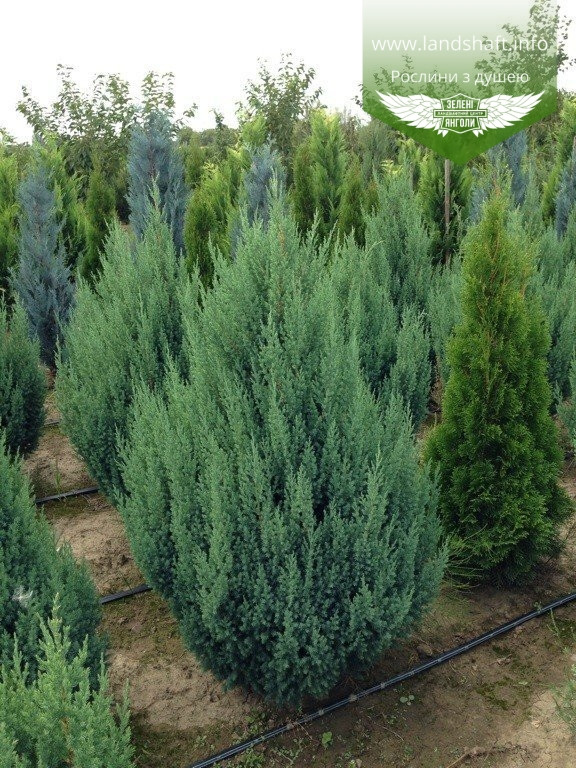 Juniperus chinensis 'Stricta', Ялівець китайський 'Стрікта',C2 - горщик 2л,20-40см