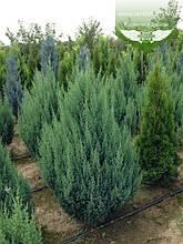 Juniperus chinensis 'Stricta', Ялівець китайський 'Стрікта',C2 - горщик 2л