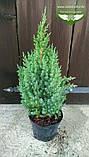 Juniperus chinensis 'Stricta', Ялівець китайський 'Стрікта',C2 - горщик 2л,20-40см, фото 2