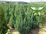 Juniperus chinensis 'Stricta', Ялівець китайський 'Стрікта',C2 - горщик 2л,20-40см, фото 3
