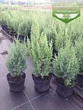 Juniperus chinensis 'Stricta', Ялівець китайський 'Стрікта',C2 - горщик 2л,20-40см, фото 4