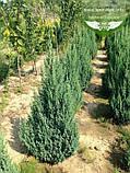 Juniperus chinensis 'Stricta', Ялівець китайський 'Стрікта',C2 - горщик 2л,20-40см, фото 5