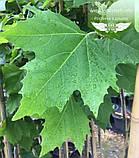 Platanus x acerifolia, Платан кленолистий,C15 - горщик 15л,220-250см, фото 4