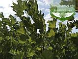 Platanus x acerifolia, Платан кленолистий,C15 - горщик 15л,220-250см, фото 9