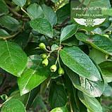 Cotoneaster lucidus, Кизильник блискучий,C2 - горщик 2л, фото 2