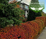 Cotoneaster lucidus, Кизильник блискучий,C2 - горщик 2л, фото 3