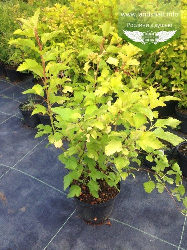 Physocarpus opulifolius 'Luteus', Пухироплідник калинолистий 'Лютеус',C2 - горщик 2л